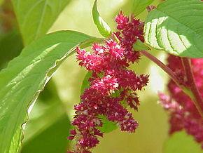 290px-Amaranthus_tricolor0